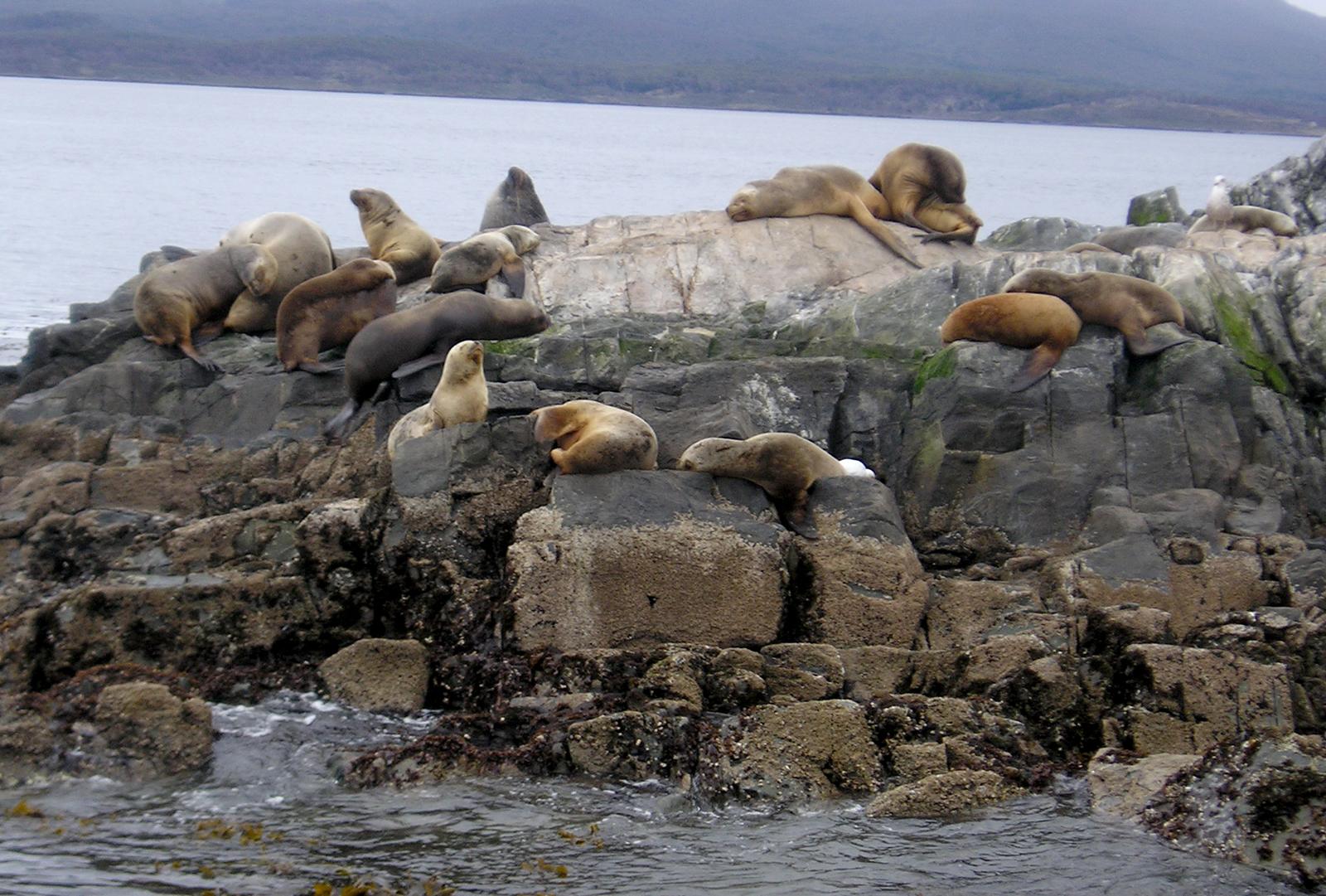 Sea Lion at Tierra del Fuego